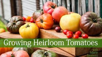 Growing Heirloom Tomatoes course image
