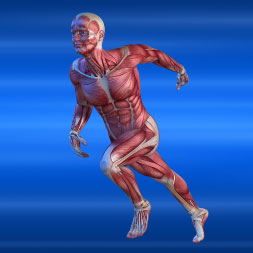 Introduction to the Human Muscular System course image