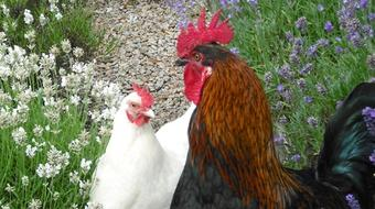 Chicken Behaviour and Welfare course image